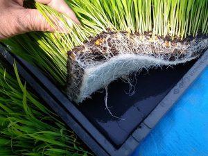 根の張りも上等。背丈が12~13cmほどになったら田植え開始です。