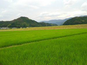 田植え後2か月。田んぼ全体が青々と彩られ、元気に稲は育っています。
