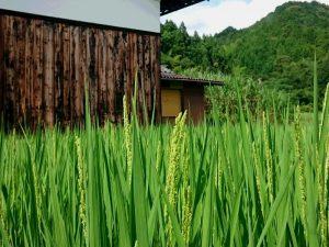 7月中旬頃に稲の穂が出てきました。写真はコシヒカリ。