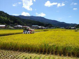 いよいよ稲刈りの時期。8月のコシヒカリ、9月のあきたこまち・羽二重もち、10月のにこまると続きます。